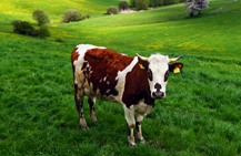 brown and white cow in a field of green grass